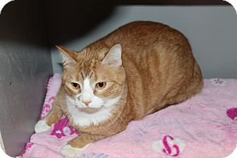 Domestic Shorthair Cat for adoption in Seville, Ohio - Fisher