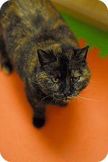 Domestic Shorthair Cat for adoption in Everett, Ontario - Jenny