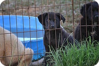 Golden Retriever/Labrador Retriever Mix Puppy for adoption in Syacuse, New York - Harlequin