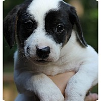 Adopt A Pet :: Lightning-Adoption Pending - Fredericksburg, VA