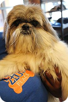 Shih Tzu Mix Dog for adoption in New Orleans, Louisiana - Olive Oil