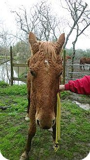 Quarterhorse/Quarterhorse Mix for adoption in Hitchcock, Texas - Amos