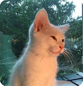 Domestic Shorthair Kitten for adoption in Delaware, Ohio - Luna