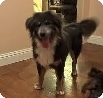 Chow Chow/Australian Shepherd Mix Dog for adoption in Weatherford, Texas - Lucky