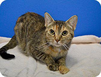 Domestic Shorthair Cat for adoption in Buena Vista, Colorado - Puma