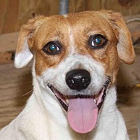 Beagle Dog for adoption in Rossville, Tennessee - Fizzle