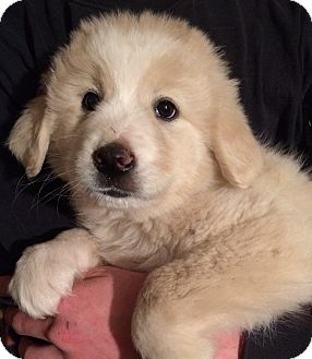 Great Pyrenees/Mixed Breed (Large) Mix Puppy for adoption in Kittery, Maine - Annabelle