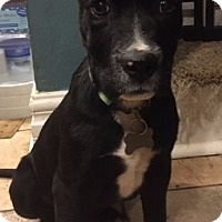 Adopt A Pet :: Gigi-Pending! - Detroit, MI