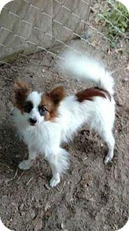 Papillon Mix Dog for adoption in Macon, Georgia - Bandit