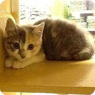 Domestic Shorthair Kitten for adoption in Trenton, New Jersey - Hera