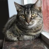 Adopt A Pet :: Stripey - Pequot Lakes, MN