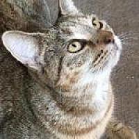 Domestic Shorthair/Domestic Shorthair Mix Cat for adoption in Savannah, Georgia - Briar Rose