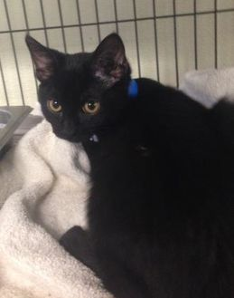 Domestic Shorthair/Domestic Shorthair Mix Cat for adoption in Waldorf, Maryland - Rafiki