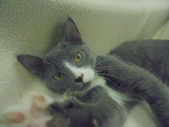 Domestic Shorthair/Domestic Shorthair Mix Cat for adoption in Marshalltown, Iowa - Taylor