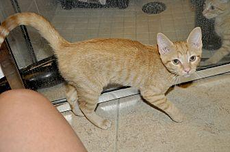 Domestic Shorthair Kitten for adoption in New Smyrna Beach, Florida - Marianne- Adorable!