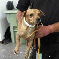 Adopt A Pet :: A3992215 - Phoenix, AZ