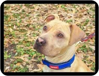 American Pit Bull Terrier Mix Puppy for adoption in Tampa, Florida - Zeus
