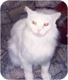 Domestic Longhair Cat for adoption in Clementon, New Jersey - Nanuk