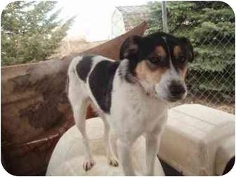 Border Collie/Brittany Mix Dog for adoption in Watertown, South Dakota - Kiki