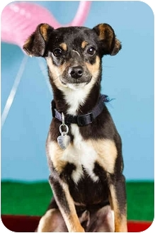 Miniature Pinscher/Chihuahua Mix Dog for adoption in Portland, Oregon - Zeke