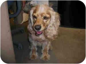 Cocker Spaniel Mix Dog for adoption in Las Vegas, Nevada - MAXWELL