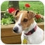 Photo 4 - Jack Russell Terrier Dog for adoption in Omaha, Nebraska - Maggie