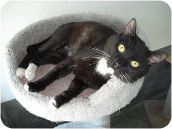 Domestic Shorthair Cat for adoption in Los Angeles, California - Boston 1yr FRIENDLY guy VIDEO