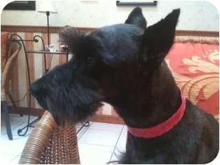 Schnauzer (Miniature) Dog for adoption in North Benton, Ohio - Favor
