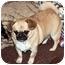 Photo 4 - Pekingese/Chihuahua Mix Dog for adoption in Lynnwood, Washington - Riesling-PENDING
