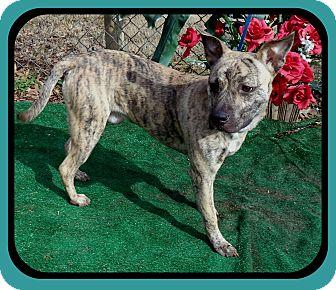 Pit Bull Terrier Mix Dog for adoption in Marietta, Georgia - CORBIN