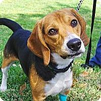 Adopt A Pet :: Bagel - Jacksonville, FL