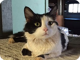 Domestic Mediumhair Cat for adoption in Wayne, New Jersey - Scooby