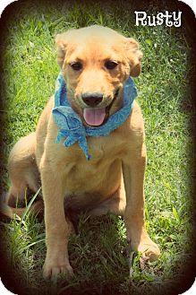 Golden Retriever/Labrador Retriever Mix Puppy for adoption in Brattleboro, Vermont - Rusty