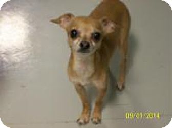 Chihuahua Dog for adoption in Hartford, Kentucky - Missy