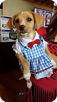 Labrador Retriever Mix Puppy for adoption in Marlton, New Jersey - Baby Lovey