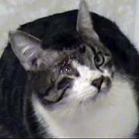 Domestic Shorthair Cat for adoption in Tyler, Texas - TG-Degen