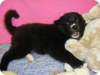Collie/Labrador Retriever Mix Puppy for adoption in Buchanan Dam, Texas - Thor