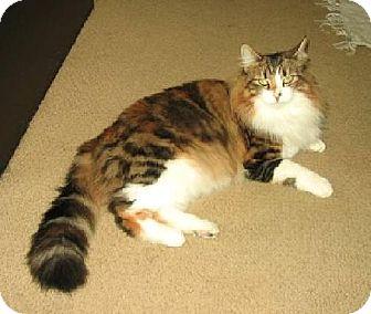 Maine Coon Cat for adoption in Oakland, California - Sadie