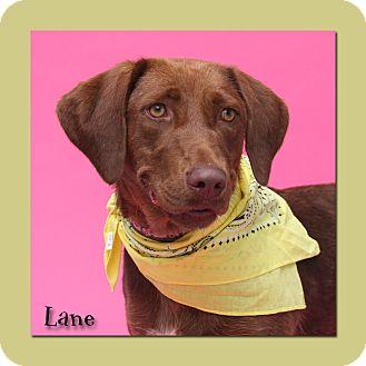 Labrador Retriever Mix Dog for adoption in Aiken, South Carolina - Lane