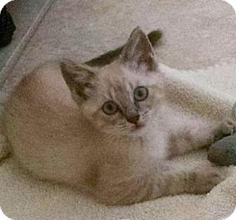 Siamese Kitten for adoption in Gainesville, Florida - Raven