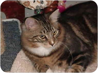 Domestic Mediumhair Cat for adoption in Chesapeake, Virginia - Chico