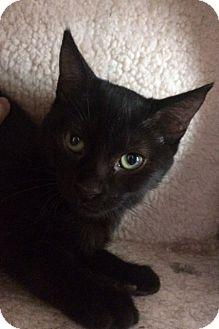 Domestic Shorthair Kitten for adoption in Santa Monica, California - CHARLOTTE