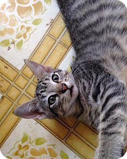 Domestic Mediumhair Kitten for adoption in Mansfield, Texas - Striper