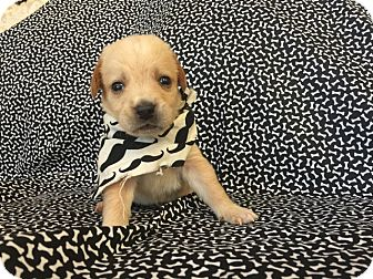 Beagle/Labrador Retriever Mix Puppy for adoption in Gallatin, Tennessee - Pongo