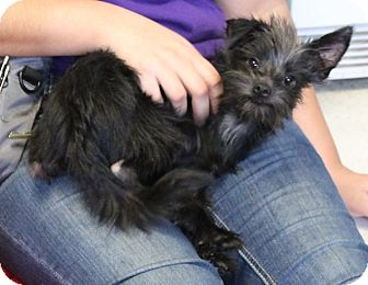 Terrier (Unknown Type, Small) Mix Puppy for adoption in San Francisco, California - Midnight
