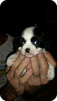 Cavalier King Charles Spaniel/Chihuahua Mix Puppy for adoption in Chiefland, Florida - Petey