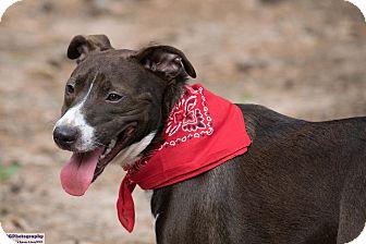Australian Shepherd/Labrador Retriever Mix Dog for adoption in Seattle, Washington - Pippa