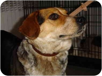 Beagle Dog for adoption in Waldorf, Maryland - Diana