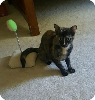 Domestic Shorthair Kitten for adoption in Cincinnati, Ohio - Maisey