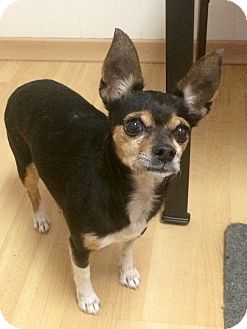 Chihuahua/Miniature Pinscher Mix Dog for adoption in East Hartford, Connecticut - Princess in CT